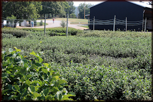 Transplanted field grown liners in Belvidere, TN